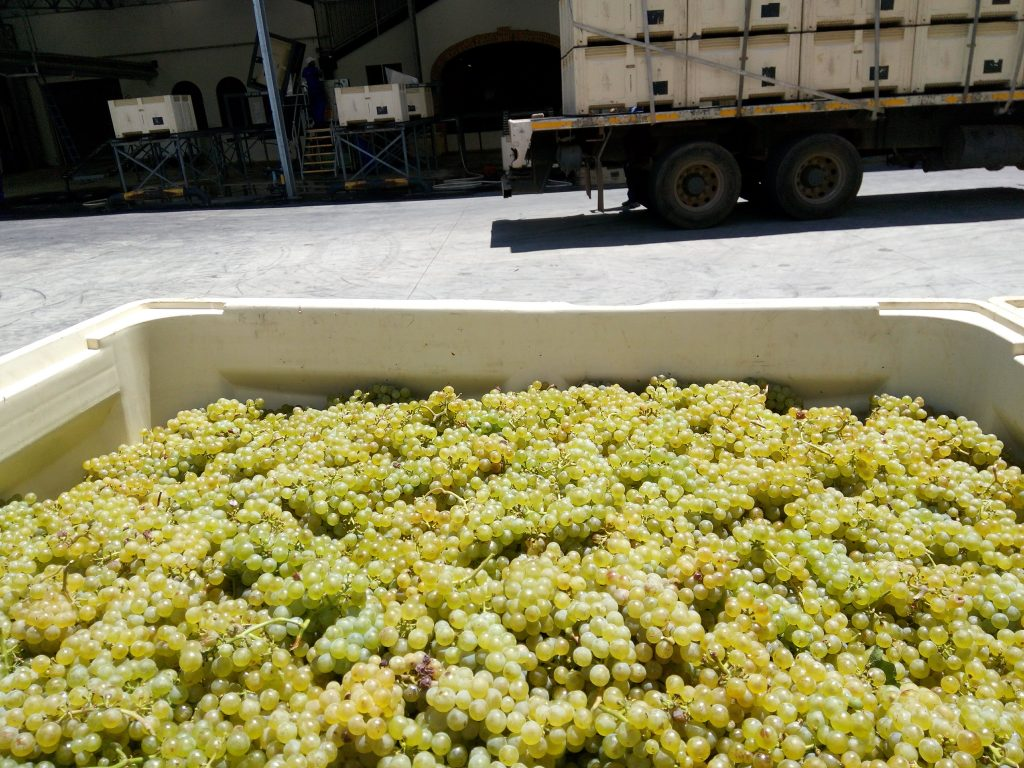 Harvest time in Cape Winelands