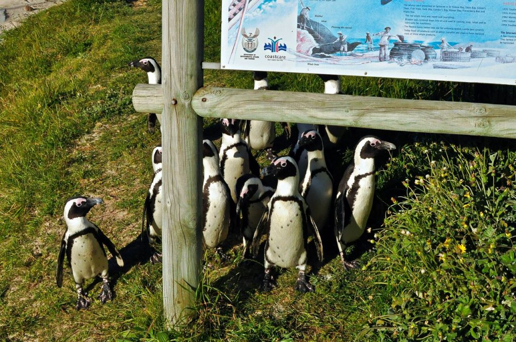 """African """"Jackass"""" Penguins on the move"""